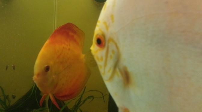 Breeding Discus – Symphysodon aequifasciatus – part 2